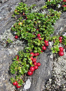 Bearberry. Photo credit: cm195902 @ Flickr.